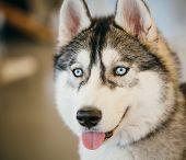 image of husky  - Gray Adult Siberian Husky Dog  - JPG