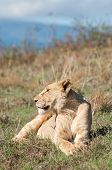 pic of sub-saharan  - Lioness lying in short grass - JPG