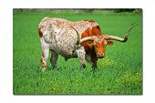 foto of longhorn  - Spotted Burnt Orange Longhorn preparing to protect his pasture.