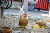 picture of bantams  - Colorful Rooster - JPG