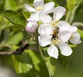foto of bee keeping  - flower of apple with a bee in a garden