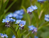 stock photo of forget me not  - close up of forget me not flowers