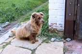 stock photo of sad dog  - Shaggy redhead dog sadly waiting the host  - JPG