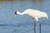 stock photo of blue crab  - Whooping Crane Watching a Blue Crab Fall into the water - JPG