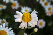 foto of deformed  - Deformed chamomile flower on a background of several other daisies - JPG