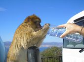 picture of ape  - A funny Barbary ape drinking water from a bottle in Gibraltar near Spain.