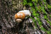 pic of grown up  - Land snail on the moss-grown tree bark. Close up.