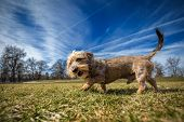 picture of dachshund  - Small wire - JPG