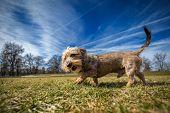 stock photo of dachshund  - Small wire - JPG