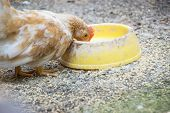 pic of bantams  - Colorful Rooster - JPG