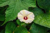image of creeper  - Morning glory flowers - JPG