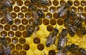 stock photo of larvae  - Bees convert nectar into honey and cover it in honeycombs and take care of the larvae - JPG