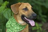 stock photo of tongue  - A closeup happy dogs smile outdoors with his tongue hanging out - JPG