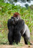 picture of she-male  - Gorilla at a short distance - JPG