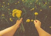 picture of pov  - Woman picking flowers yellow dandelions on meadow in summer - JPG