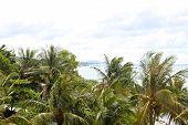 pic of southeast  - coconut tree island of Phu Quoc Vietnam Southeast Asia - JPG