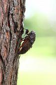 image of exoskeleton  - cicada holding on a tree in the sunshine - JPG