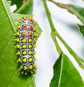 stock photo of caterpillar  - Colorful caterpillar of Drury