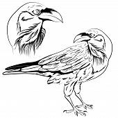 image of raven  - Black and white raven - JPG