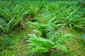 foto of fern  -  green fern leaves in the underwood of forest  - JPG
