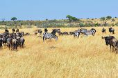 stock photo of wildebeest  - African landscape with antelopes wildebeest and zebras Masai Mara Kenya - JPG