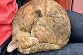image of lap  - Cat sleeping happily in the lap of a boy - JPG