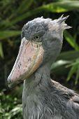 stock photo of rainforest animal  - Shoebill  - JPG
