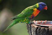 picture of lorikeets  - Rainbow lorikeet  - JPG