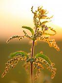 picture of nettle  - nettle flower at sunset in backlit - JPG