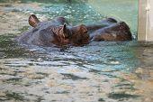 stock photo of hippopotamus  - Hippopotamus  - JPG