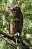 stock photo of malay  - Buffy fish owl  - JPG
