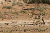 stock photo of cheetah  - A cheetah near the road at Kgalagadi National Park South Africa - JPG