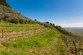 picture of row trees  - Agricolture rows of wine and olive trees Marostica hills Italy - JPG