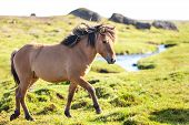 foto of iceland farm  - Horse in a green field of grass at Iceland Rural landscape. Horizontal shot ** Note: Soft Focus at 100%, best at smaller sizes - JPG