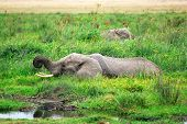 stock photo of swamps  - African elephant in the swamp in Amboseli national park Kenya - JPG