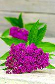 stock photo of meadowsweet  - Meadowsweet flower japanese spirea on wooden table - JPG