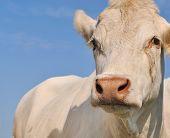 pic of charolais  - close on white charolais cow under blue sky - JPG