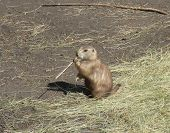 picture of prairie  - A Prairie Dog chewing on some grass - JPG
