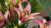 stock photo of lillies  - Asiatic Pink Lilly - JPG