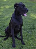 picture of great dane  - Black Great Dane that is sitting on green grass - JPG