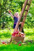 stock photo of orchard  - Child picking apples on a farm climbing a ladder - JPG