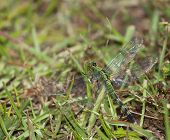 stock photo of dragonflies  - Green dragonfly lurking in the grass waiting to eat a bug - JPG