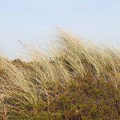 image of dune grass  - The European beach grass  - JPG