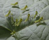 stock photo of glory  - Small grasshoppers that have collected on a morning glory leaf - JPG