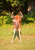 picture of black tail deer  - Big buck that is coming from a dark forest - JPG