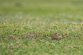 stock photo of prairie  - prairie dog hiding on field in summer - JPG