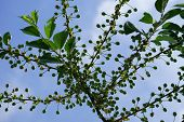 picture of cherry  - The branch of a cherry tree bursting with unripe and green cherry fruits - JPG