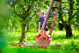 pic of orchard  - Child picking apples on a farm climbing a ladder - JPG
