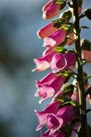 stock photo of digitalis  - A purple Foxglove  - JPG