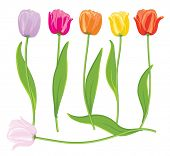 picture of single flower  - Color vector tulips set - JPG